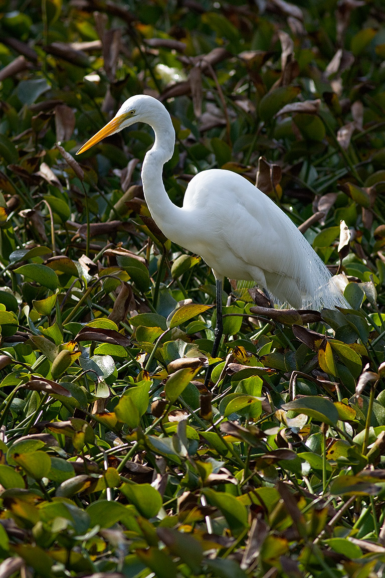 Everglades >> Great White Heron